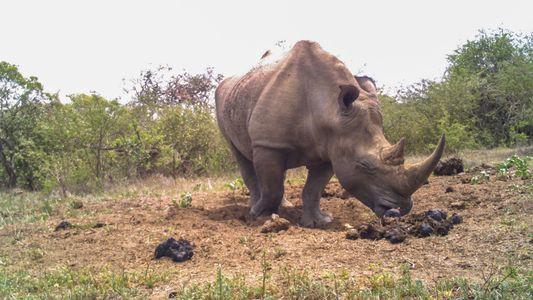 Los rinocerontes usan los estercoleros como una red social