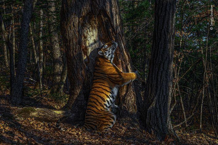 Esta rara fotografía de un tigre siberiano abrazando un árbol en el Lejano Oriente de Rusia ...
