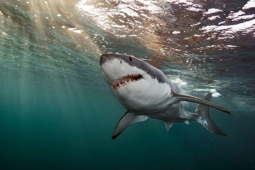 El fotógrafo de National Geographic Brian Skerry capturó a este gran tiburón blanco nadando en aguas ...