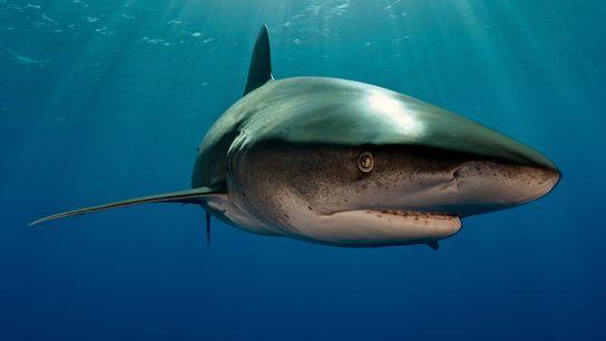 Un tiburón oceánico (no es el animal implicado en el encuentro) nada en la costa de ...