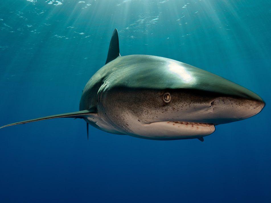 Una imagen revela la lucha de un tiburón contra un calamar gigante