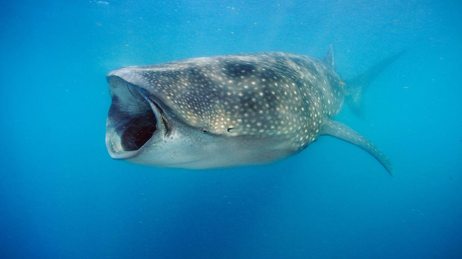 Los tiburones ballena (en la foto, un animal que se alimenta de plancton en la península ...