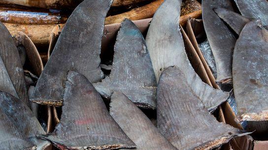 Cuando se secciona la aleta del cuerpo del tiburón, las autoridades pueden tener dificultades para determinar ...
