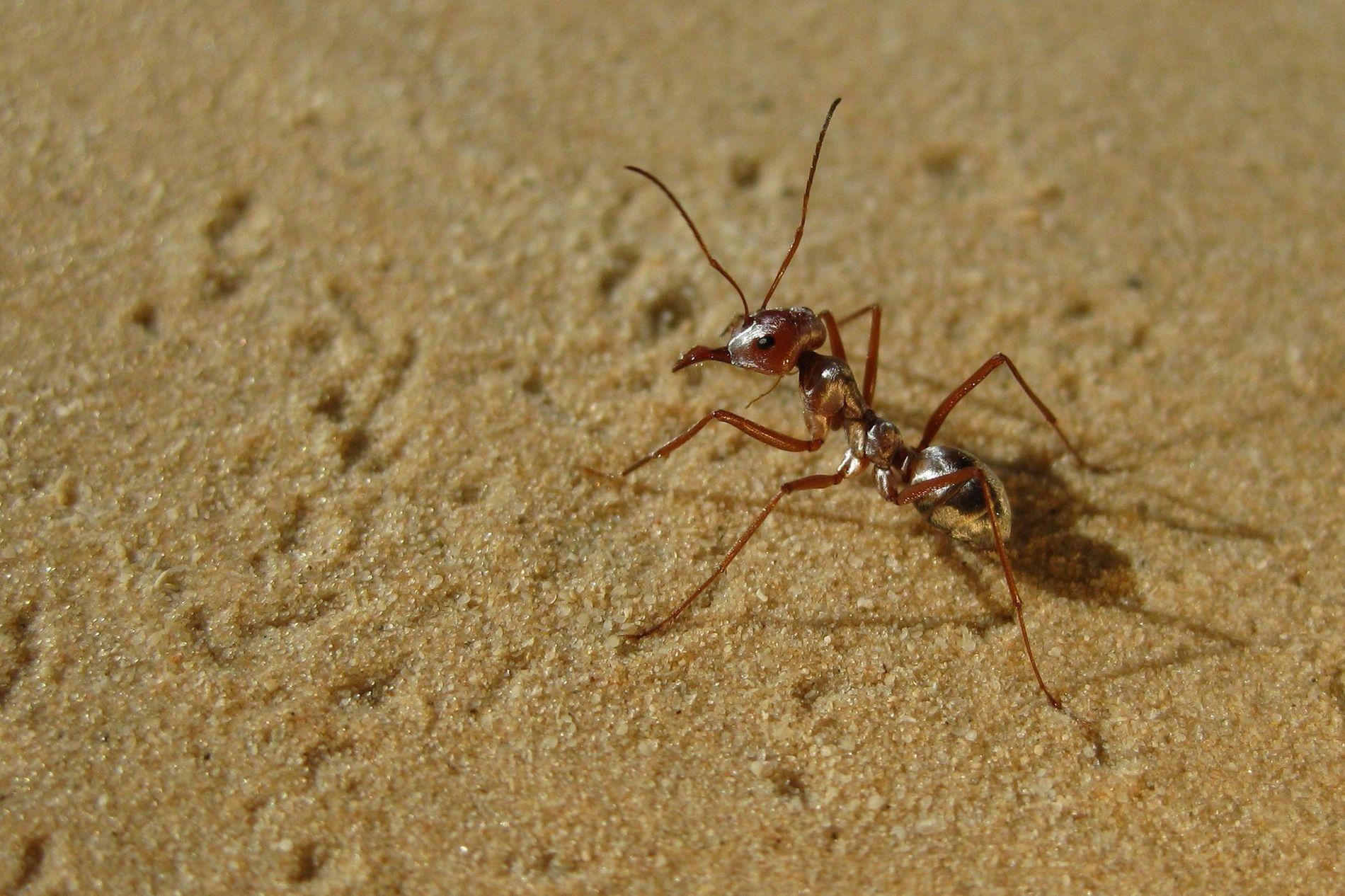 Una hormiga plateada del Sahara cruza las arenas calientes de Túnez.