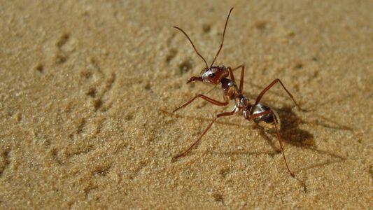 Descubren a la hormiga más rápida del mundo en el desierto del Sahara