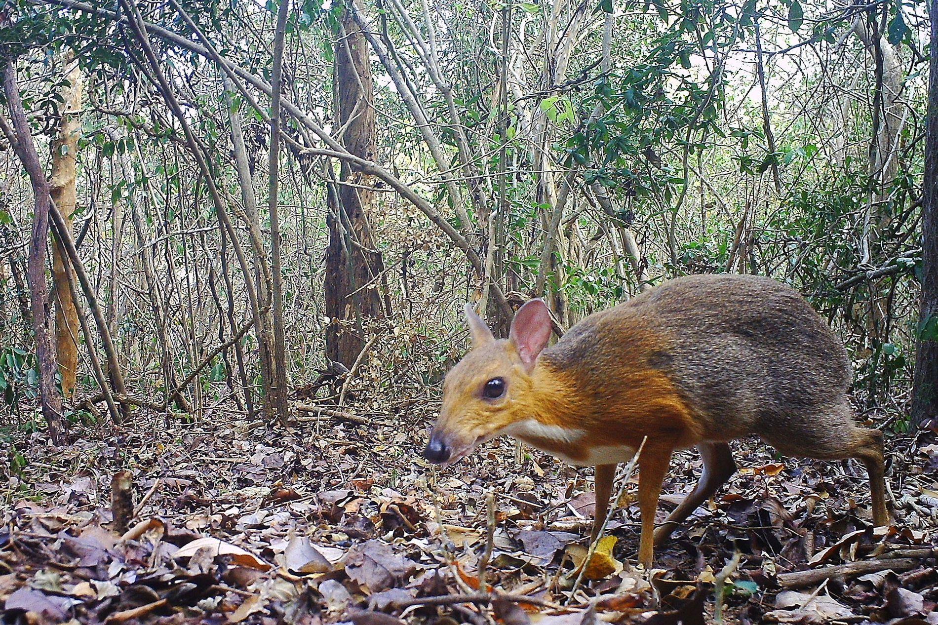 Una cámara trampa capturó una foto de un ciervo ratón con espalda plateada (Tragulus versicolor), que ...