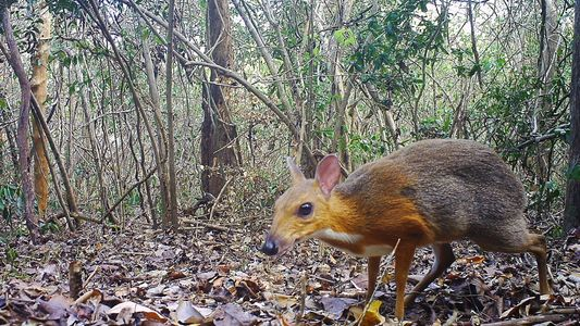 Ciervo ratón con colmillo identificado después de desaparecer durante una generación