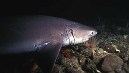 Nueva especie de tiburón descubierta en aguas profundas