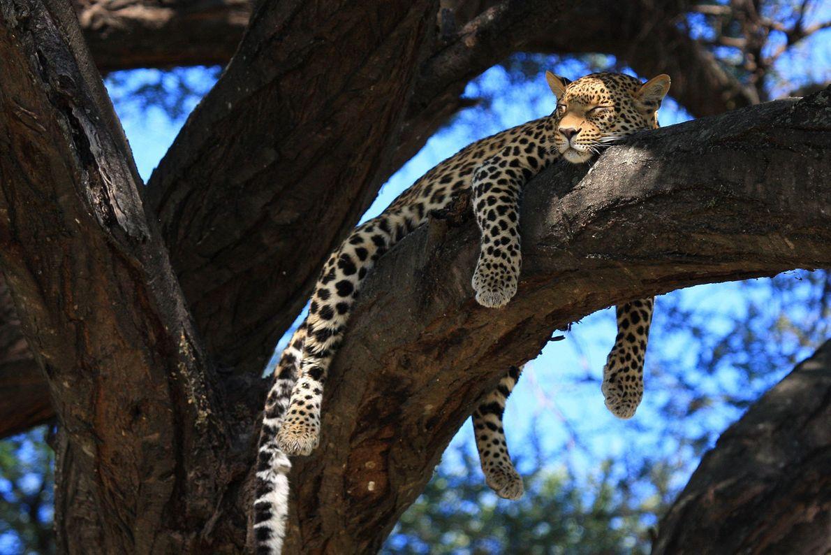 Un leopardo hembra disfruta del sol de la tarde. Mombo, Botsuana.