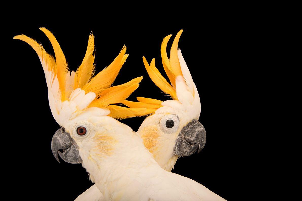 Cacatúas sulfúreas (Cacatua sulphurea citrinocristata) en el Jurong Bird Park. Estos miembros de la familia de ...