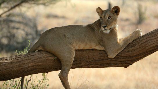 Una leona llamada Nadala recostada en un árbol en la Reserva Nacional Samburu de Kenia, donde ...