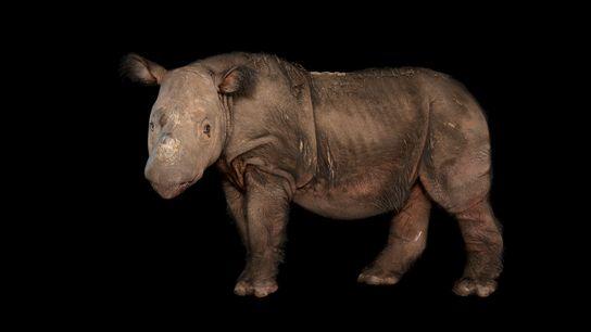 Un rinoceronte macho llamado Harapan posa en el White Oak Conservation Center en Florida, donde vivió ...