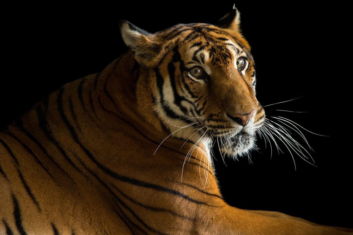 Este tigre del sur de China, en grave peligro de extinción, vive en el zoológico de ...