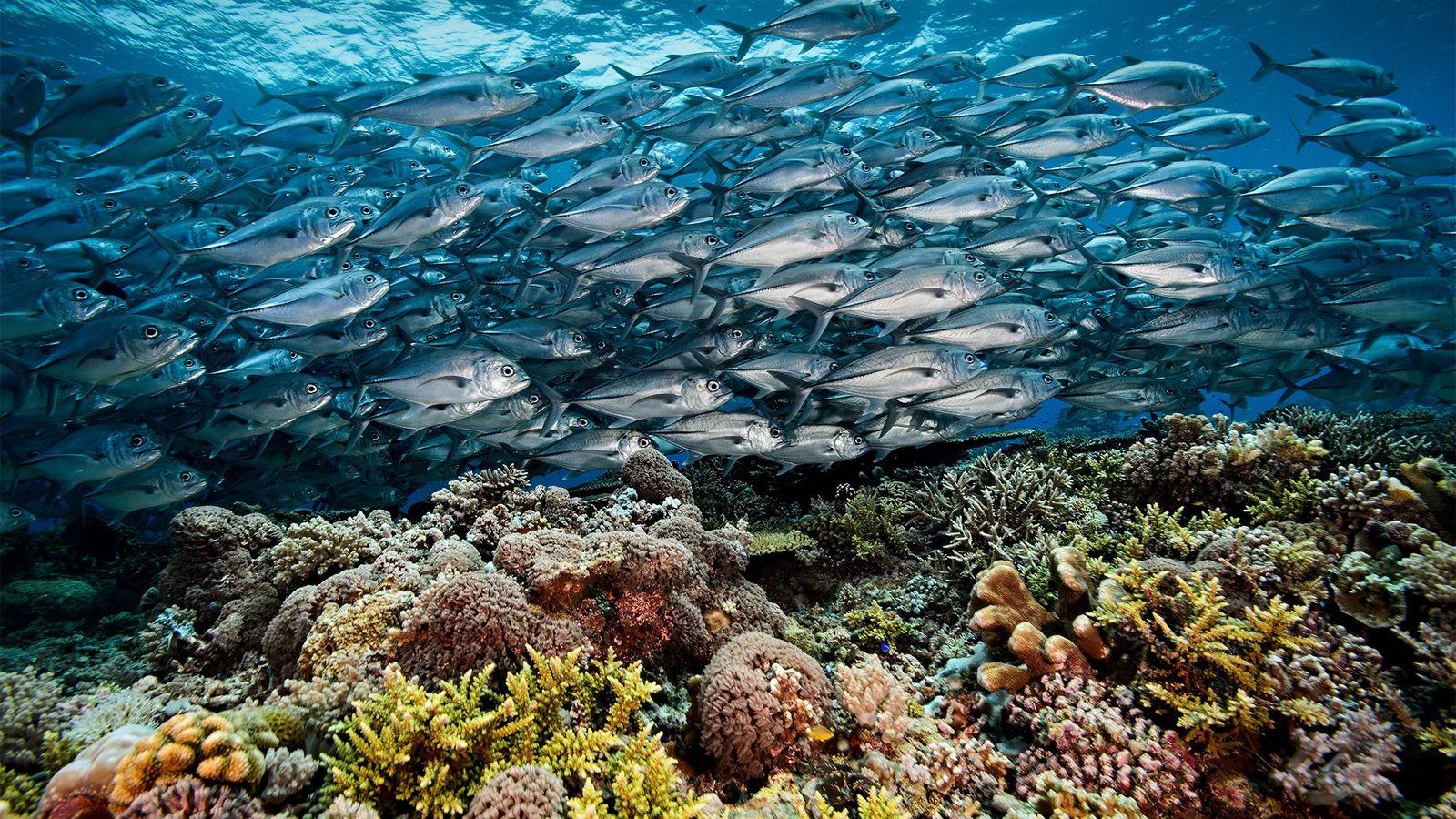 Un banco de seriolas fluye como un río plateado sobre corales en el atolón sur del ...