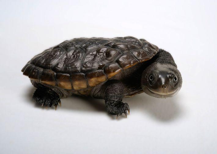 La tortuga de cuello de serpiente de Reimann (Chelodina reimanni) lleva ese nombre por su largo ...