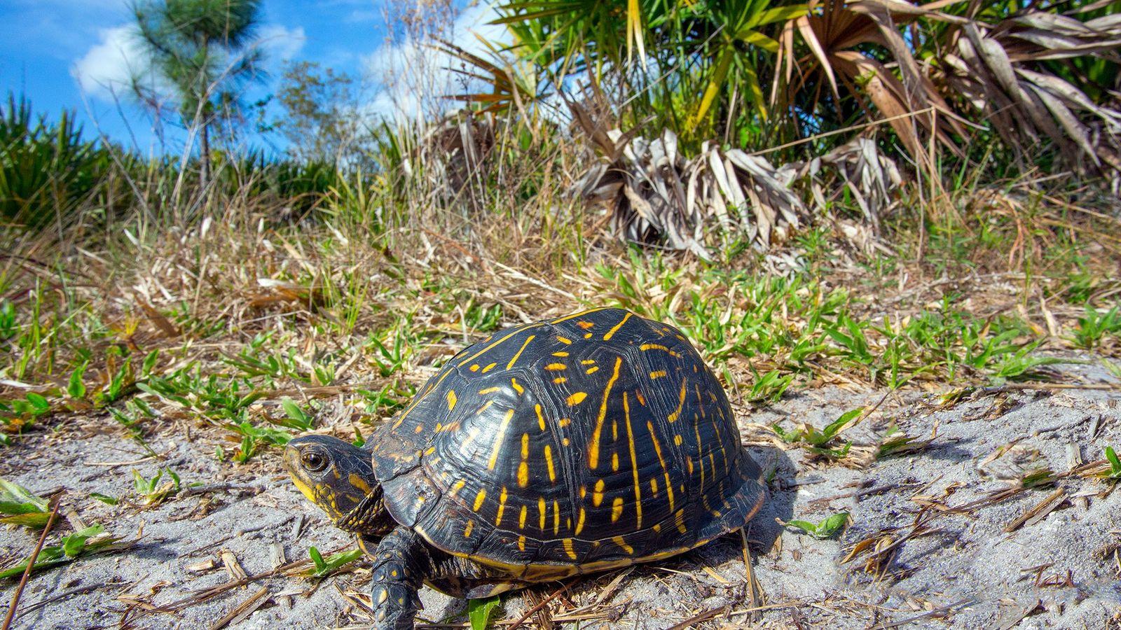 Los cazadores furtivos han estado apuntando a las tortugas de caja de Florida, como esta, para ...