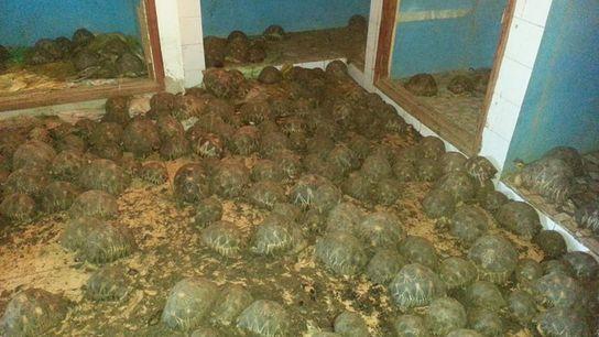 Las autoridades descubrieron 10.000 tortugas radiadas, una especie en peligro de extinción, abarrotadas en una casa ...