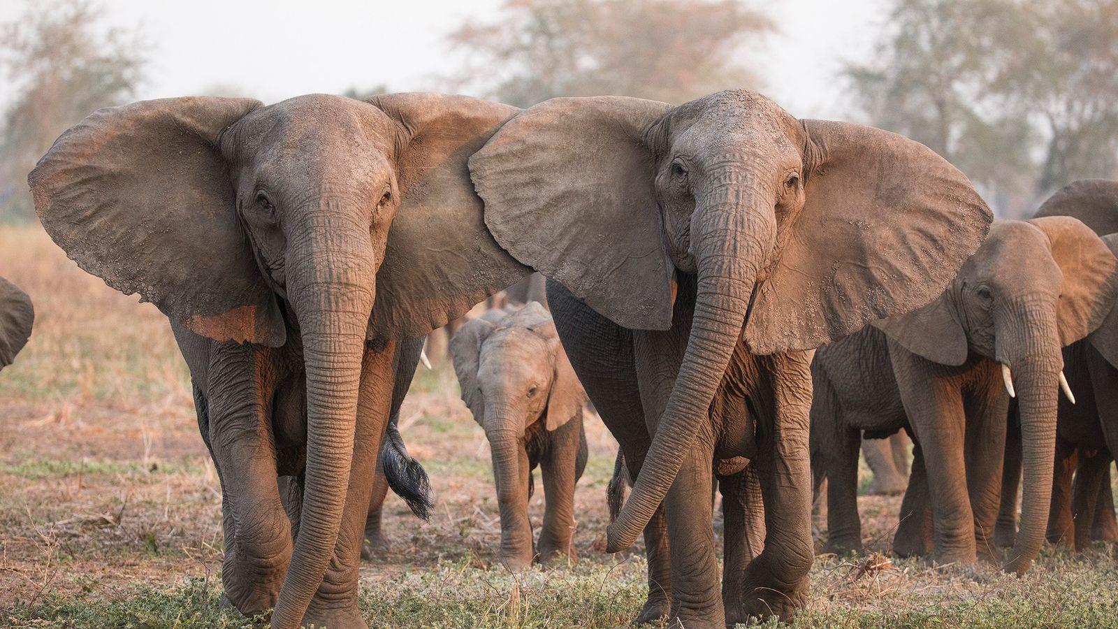 Los elefantes con el extraño rasgo genético de falta de colmillos tienen más probabilidades de sobrevivir ...