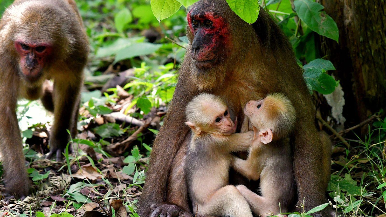 La madre del macaco rabón, conocido como TNG-F19, sostiene a sus mellizos mientras otro miembro del ...