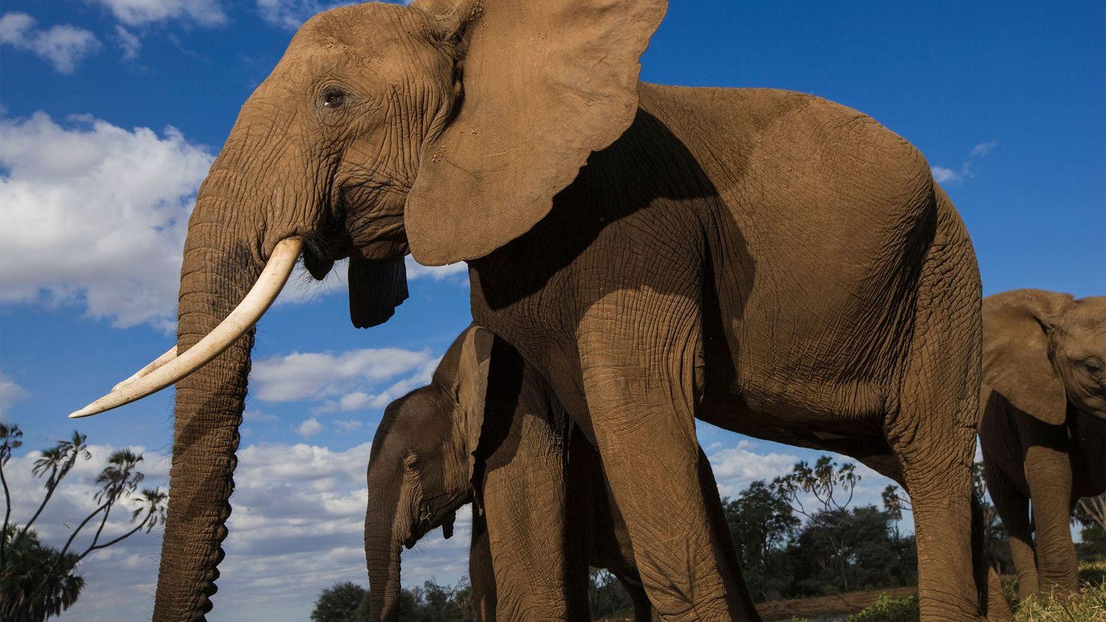 Los elefantes africanos se enfrentan a un grave descenso demográfico debido a la caza furtiva por ...