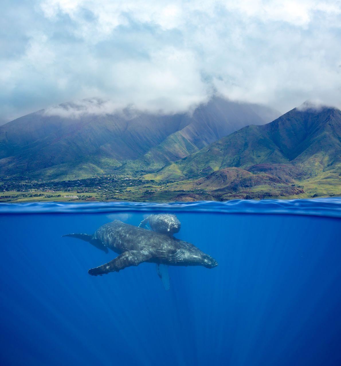 BALLENAS JOROBADAS EN HAWAII
