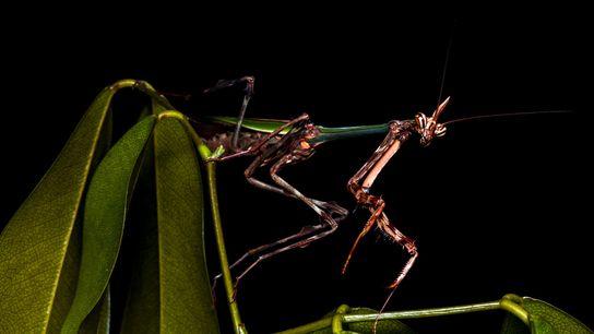 Una mantis unicornio encontrada en la Reserva Ecológica de Guapiaçu de Brasil, en el género Zoolea, ...