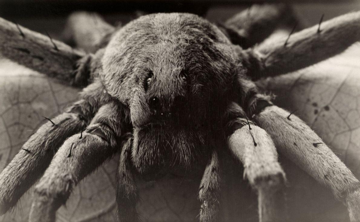 Dentro de las arañas lobo más grandes, la araña lobo de Carolina sale a cazar de …