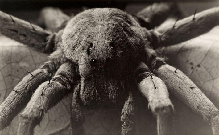 Dentro de las arañas lobo más grandes, la araña lobo de Carolina sale a cazar de ...