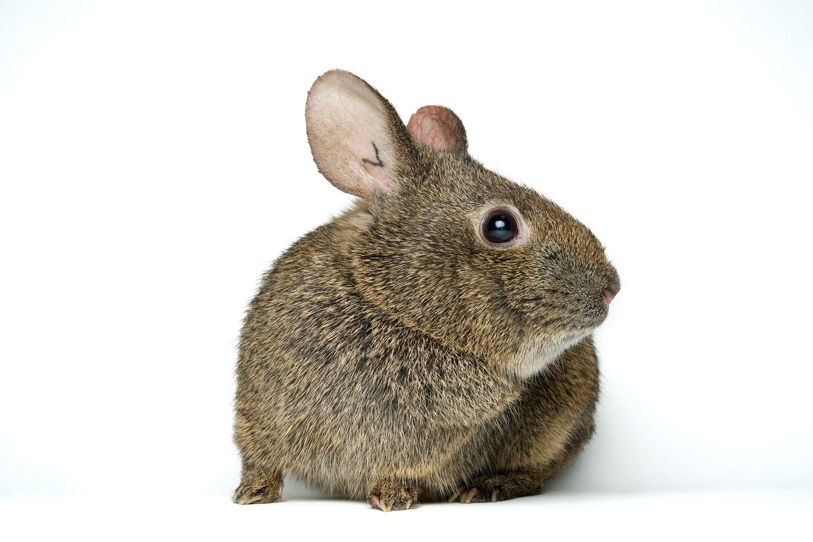 El conejo de los volcanes (también conocido como teporingo) en peligro de extinción vive en las laderas ...