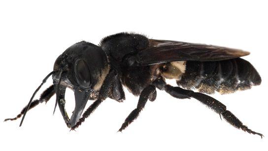 """La abeja gigante de Wallace (""""Megachile pluto"""") tiene una envergadura de 6,2 cm y una mandíbula ..."""