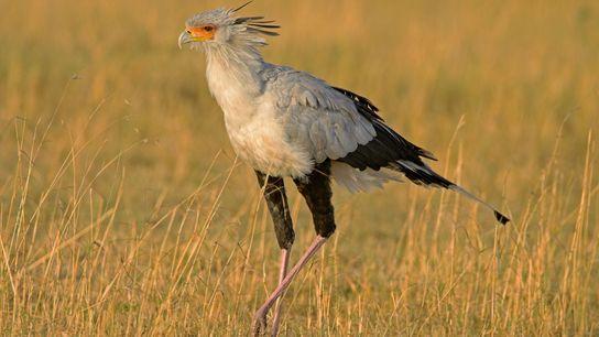 Los pájaros secretario, como este en la Reserva nacional Masai Mara en Kenia, acechan a sus ...