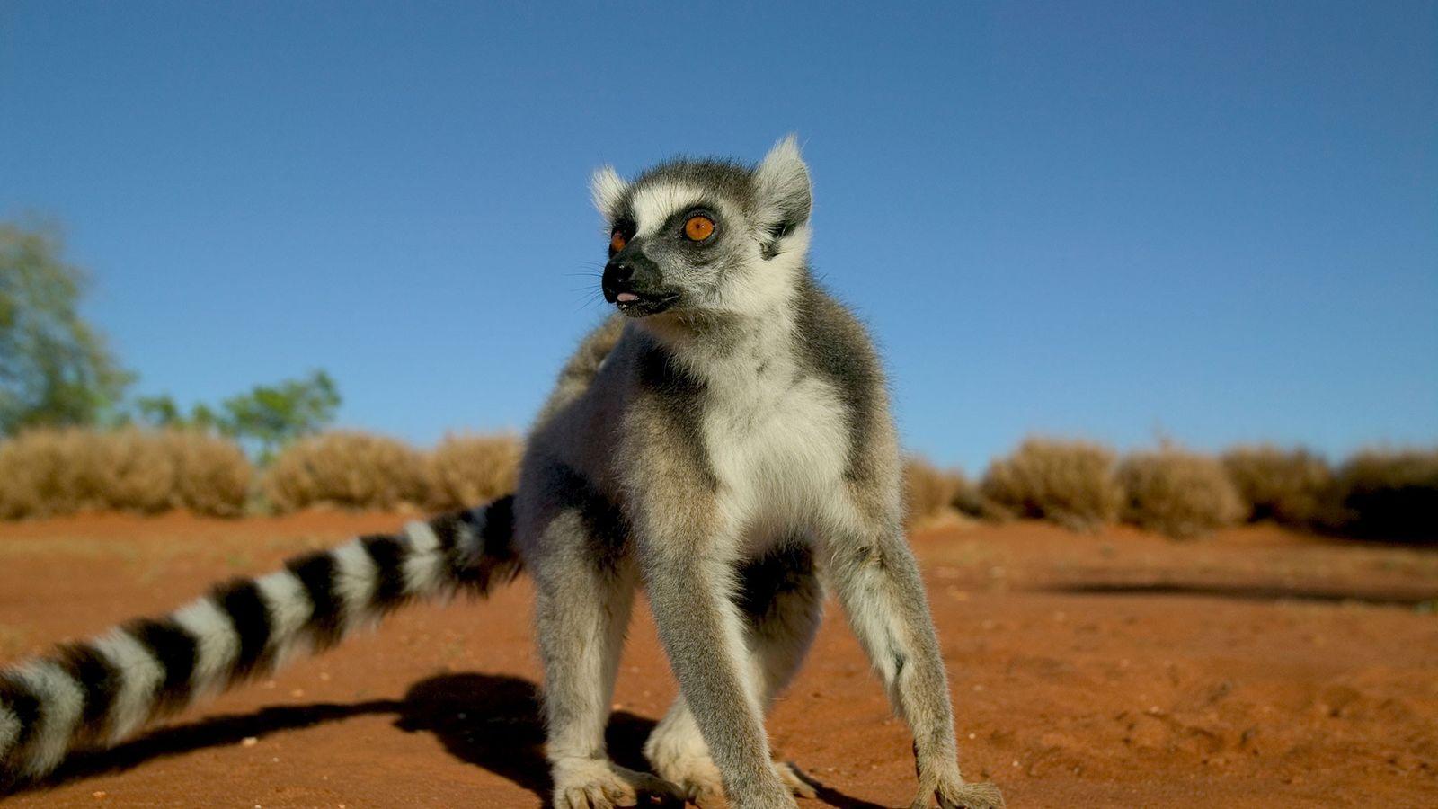 Cuando un lémur de cola anillada macho como este está herido, puede perder su posición social.