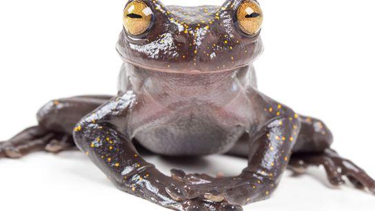 Un ejemplar adulto de Hyloscirtus hillisi, la especie recientemente descubierta, parece sonreír para la cámara.