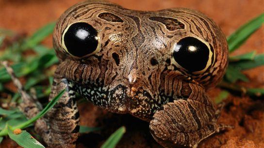 La Physalaemus nattereri infla sus posaderas para asustar a los depredadores con ojos falsos.
