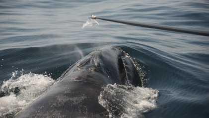 ¿Cómo estudiar a las ballenas en peligro de extinción? Mediante sus mocos