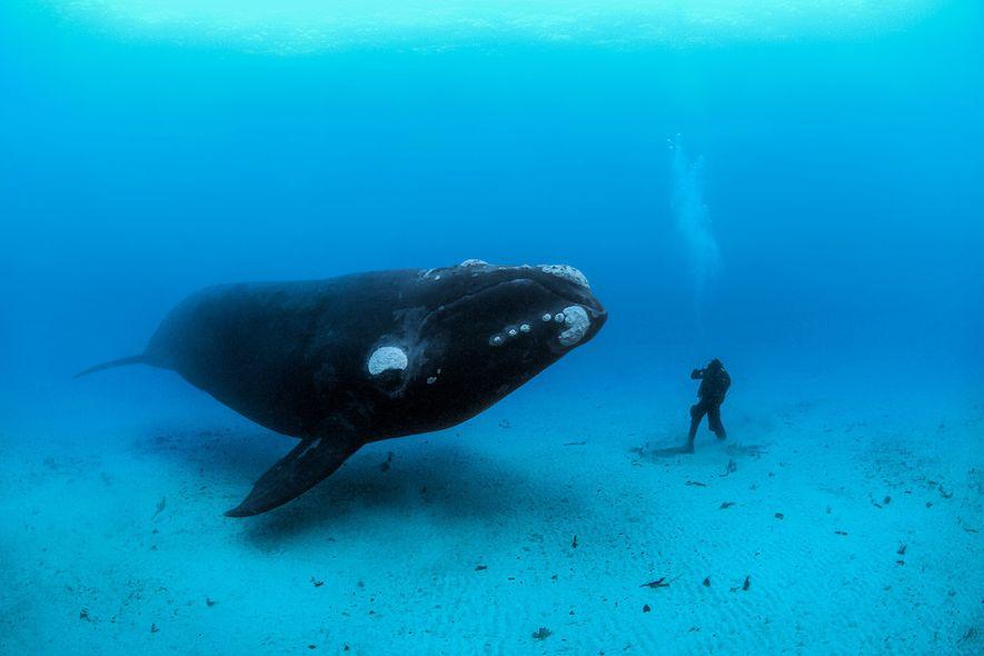 Un buzo se encuentra con una ballena franca austral en el arenoso lecho marino en la ...