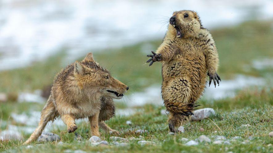 Con esta imagen de un zorro tibetano y una marmota en el momento previo al ataque, …