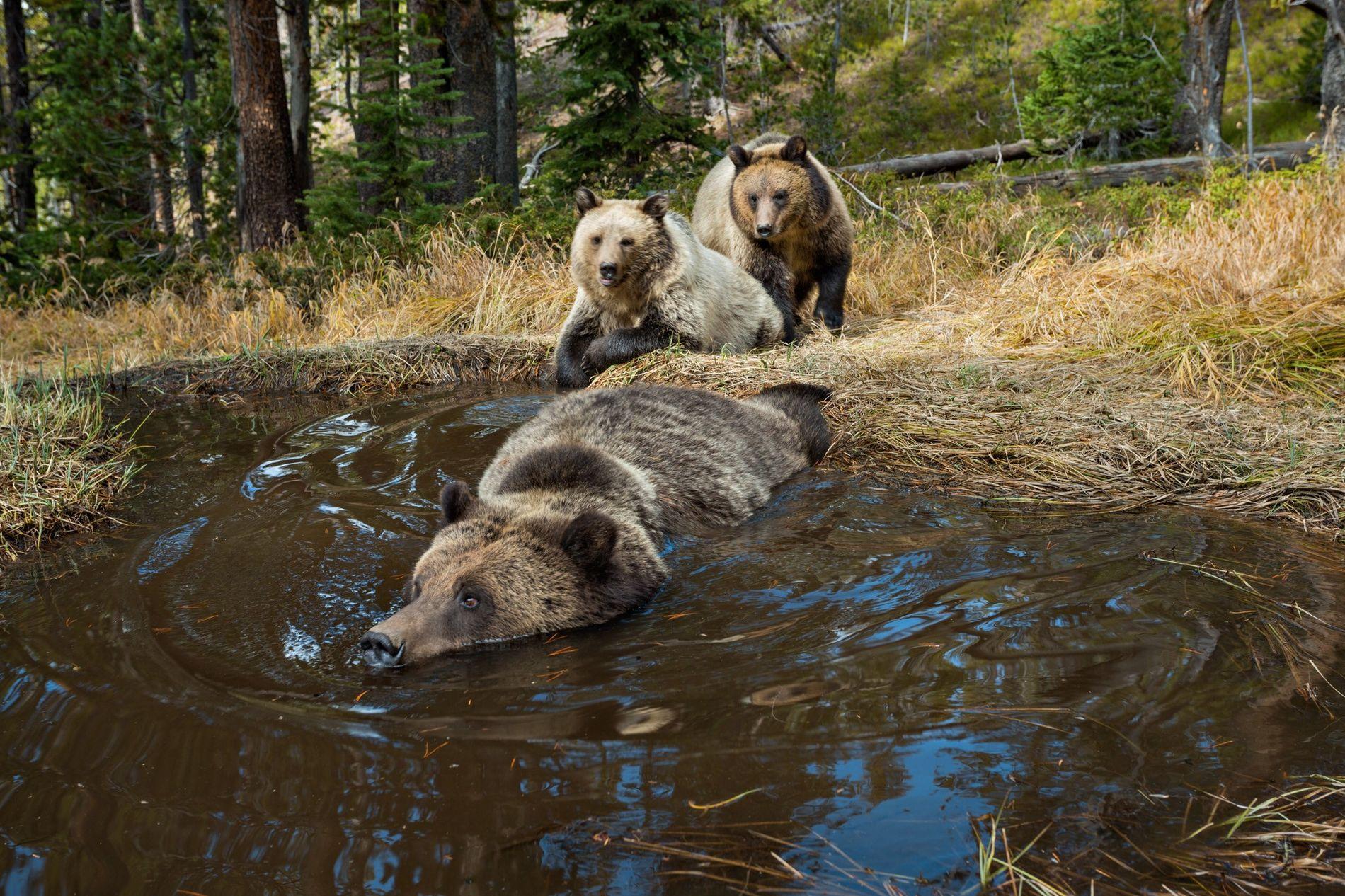 """Una cámara trampa toma fotos de osos grizzly (""""Ursus arctos"""") en un charco en Yellowstone. Las ..."""