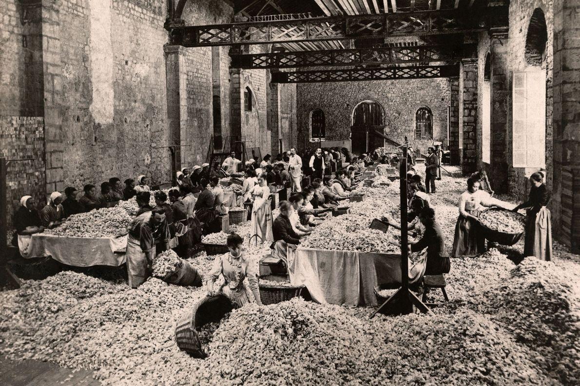 En un convento convertido en fábrica en Notre Dame des Fleurs, Grasse, Francia, los trabajadores despojan ...