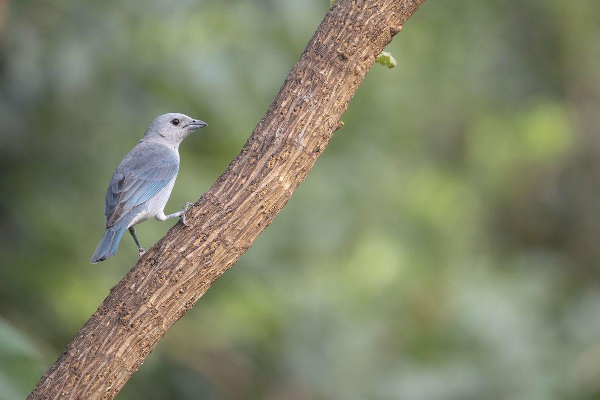 """Celestino. Misiones. """"Este ave se puede encontrar desde la Bahía de Samborombón hasta el norte del ..."""