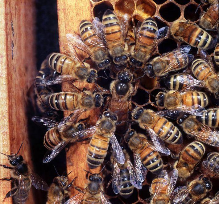 Abejas obreras rodean a una abeja reina mientras pone sus huevos en una colonia en el ...
