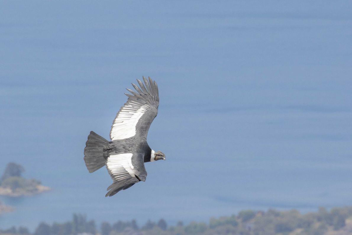 """Cóndor Andino, Volcán Batea,Neuquén. """"Una de las aves más imponentes de los cielos siendo el ave ..."""