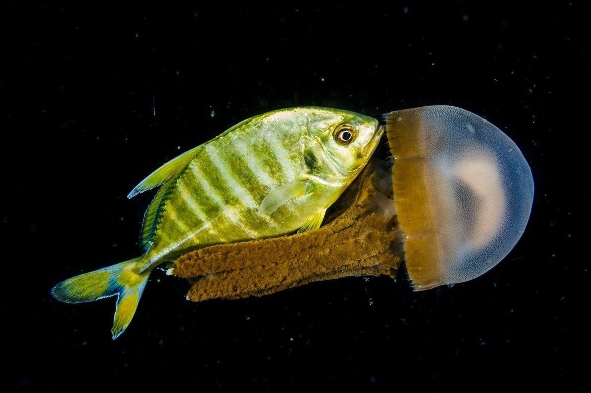 Fotografía de David Doubilet y Jennifer Hayes de criaturas marinas nocturnas.