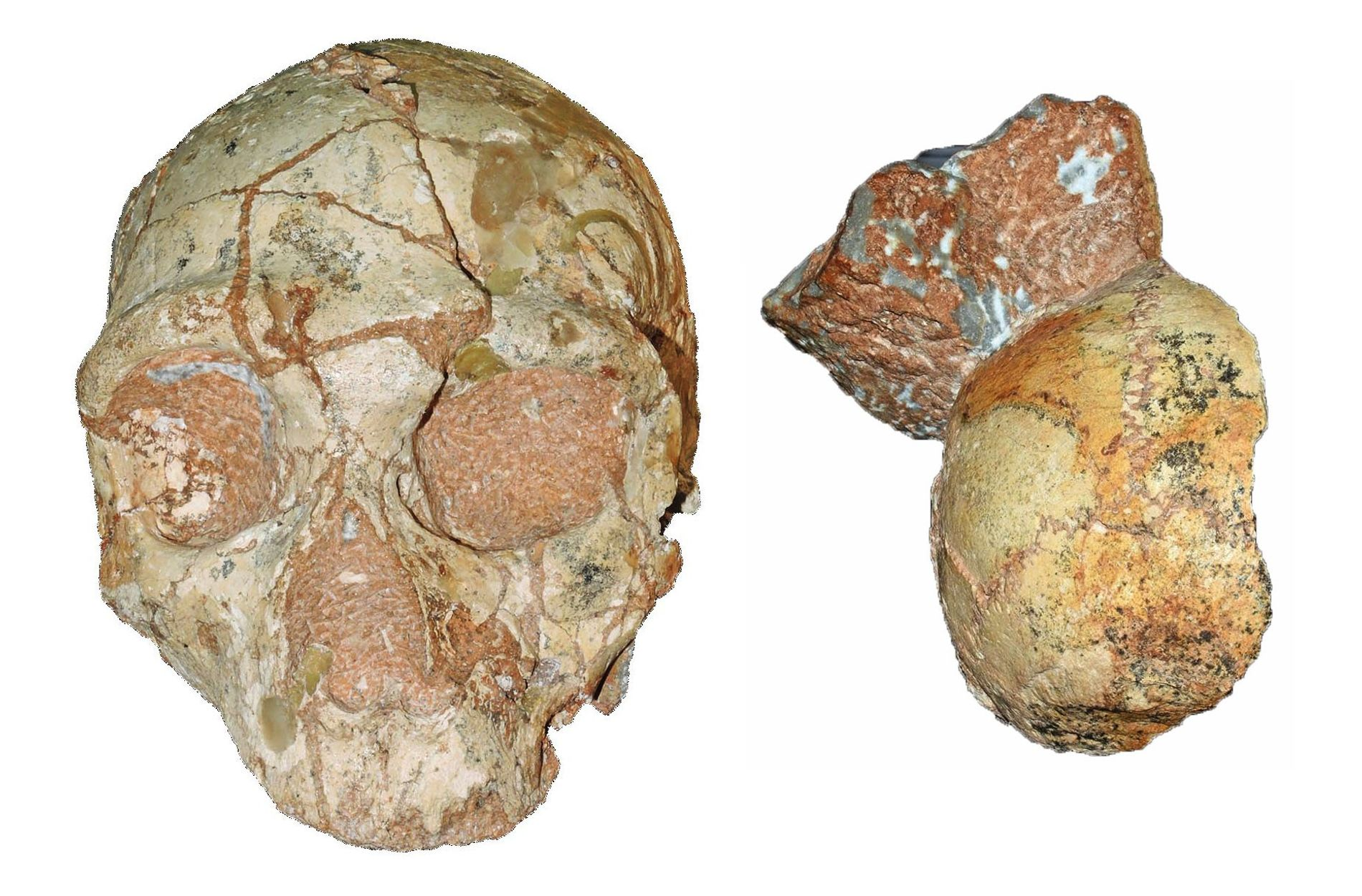 Estos fósiles fragmentados, hallados a meros centímetros de distancia, podrían ser los cráneos de dos especies ...