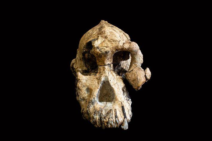 Designado formalmente MRD-VP-1/1, este cráneo recién descubierto pertenece a un ancestro humano primitivo llamado Australialopithecus anamensis.