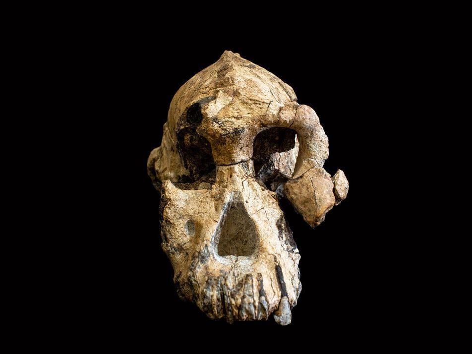 """Un cráneo """"sin precedentes"""" revela el rostro de un antepasado humano"""