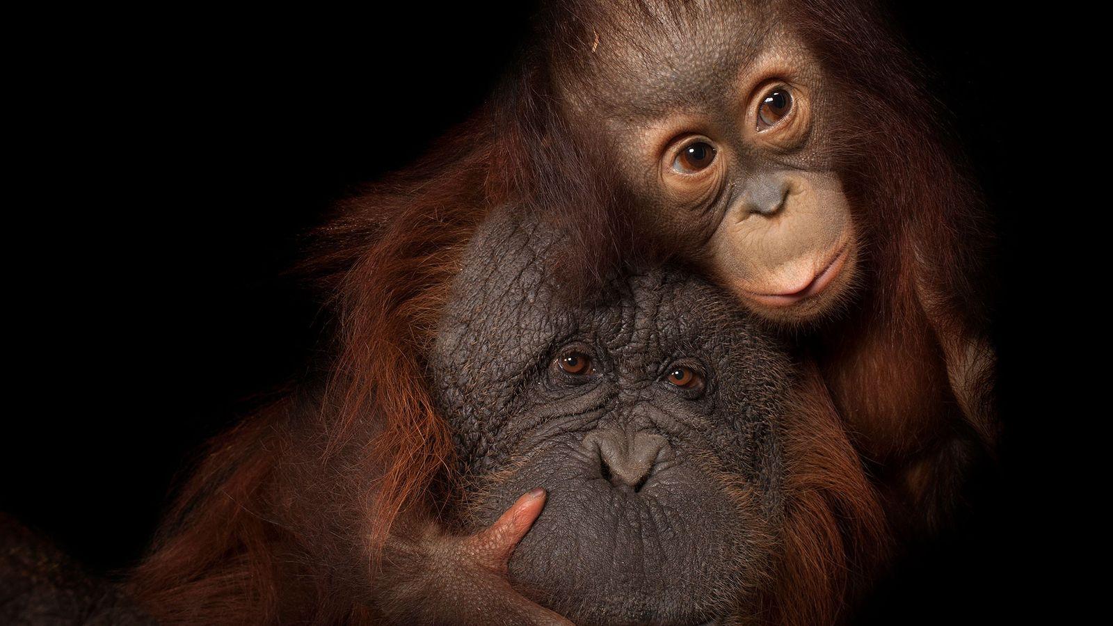 Un orangután de Borneo bebé con su madre adoptiva. Esta especie se encuentra en peligro de ...
