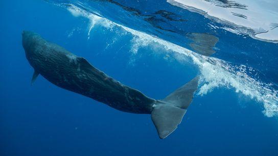 Digit, una joven cachalote cerca de la nación de Dominica en el Mar Caribe, pasó tres ...