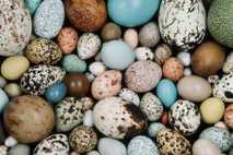 Los huevos de aves modernas vienen en gran variedad de tonos, como estas muestras en la ...