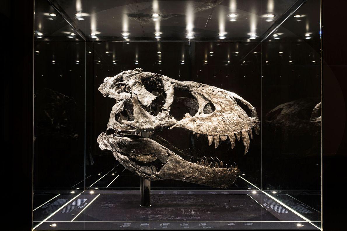 """Este cráneo casi entero, de color negro intenso, pertenece el espécimen más completo de """"Tyrannosaurus rex"""" ..."""